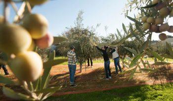zeytin zeytinyağı akademik bilgiler